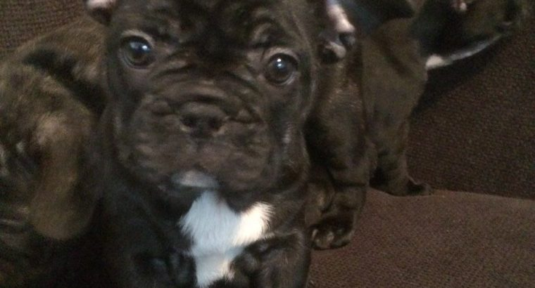 Kc Registered French Bulldog Puppies(CALL=0833155522)