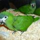 Buy Fertile Parrots, eggs and weaned parrots of different types +27785858498
