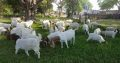 Boer Goats, caltle, calves and sheep for sale