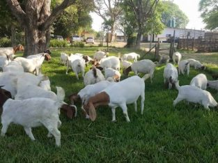 Boer Goats, caltle, calves and sheep for sale Whatsapp me @ 0785858498