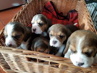 Adorable Tri Coloured Beagle Puppies