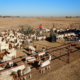 Cattle Nguni Brahman and Bonsmara cattle for sale Livestock for s