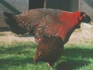 Tragopans pheasants fowls for sale