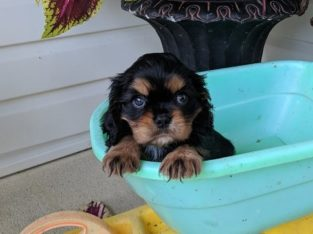 cavalier king Charles Spaniel Puppies Available for sale