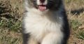 Registered Australian puppies for sale