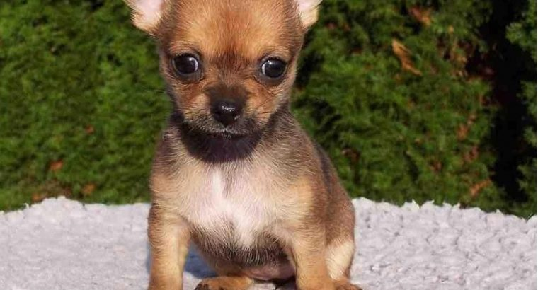 Chihuahua pups ready for love home