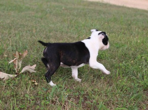 Beautiful Boston Terrier puppies looking for a good home.
