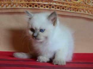 Female Persian ragdoll kittens available now 9 weeks old.
