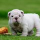 Amazing pure English bulldog females and males puppies for sale.