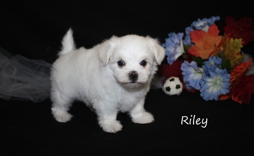 Stunning Miniature Maltese Females and males available for breeding or as a pet.
