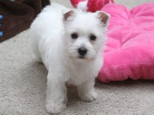 Pure breed Kusa registered Westie puppies for sale