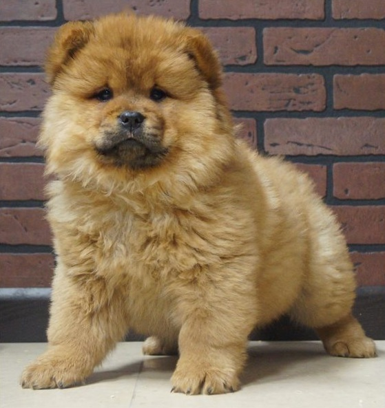 Registered Chow Chow Puppies For Sale Myads Africa