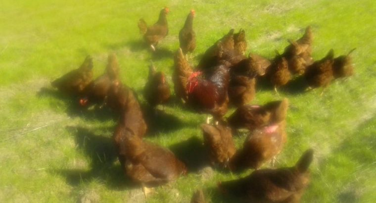 Live chicken, ostrich and day old chicks For Sale Whatsapp +27631521991