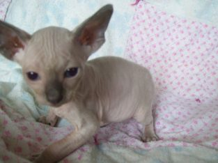 Sphynx Kittens Available for sale