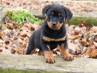 Registered Rottweilers puppies for sale