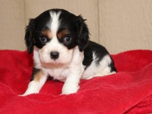 Cavalier King Charles Spaniel puppies for sell