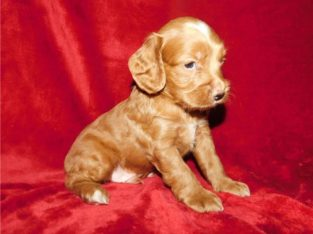 Cockapoo puppies Available for sale