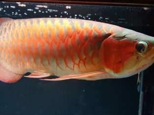 Quality Arowana Fishes Available For Sale at affordable prices