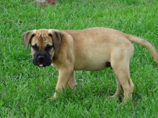 Registered Bullmastiff puppies for sale