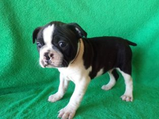 Registered Boston terrier puppies for sale