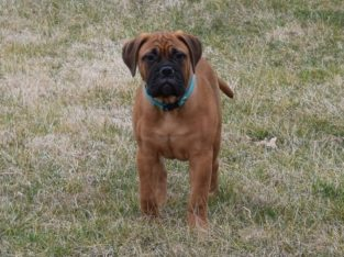 Bullmastif puppies ready for sale