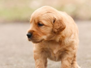 Golden retiever puppies for sale