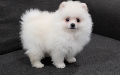 Beautiful Pomeranian Puppies for sale – MyAds Africa