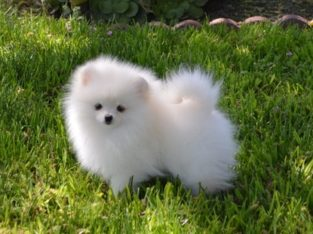 sweet pomeranian puppies for sale