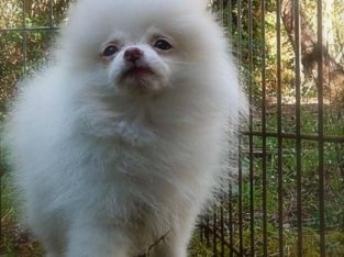 Beautiful Pomeranians for Sale