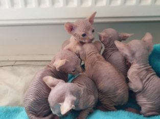 Sphynx Kittens for New Homes