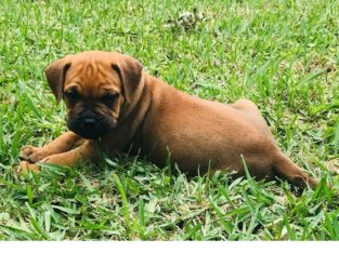 Pure breed Bullmastiff Puppies for sale