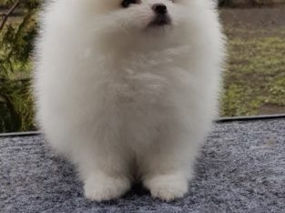 Super cute Pomeranian Puppies Available
