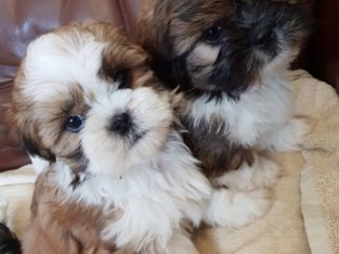 ADORABLE Shit Tzu Puppies for Sale