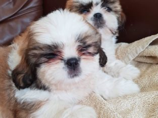 Shit Tzu Puppies for Sale