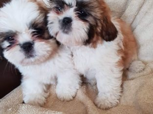 Well trained male and female Shit Tzu puppies read