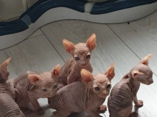 outstanding sphynx kittens for re-homing