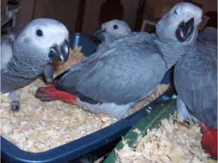 Baby and Mature African Grey parrots with eggs