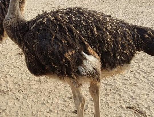 South African supplier of Ostriches