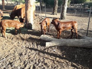 Order Cheap Bonsmara Calves From Farmers