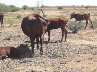Available Bonsmara Cattle And Calves