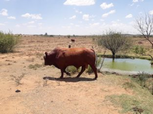 Bonsmara Cattle At Give Away Prices