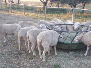 Does and Ewes at give away prices