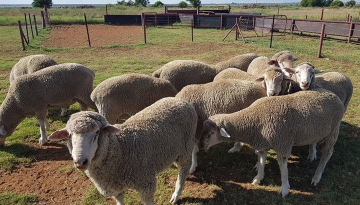 Best price Merino sheep for sale