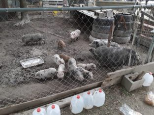 Pigs available for sale whatsapp +27734531381