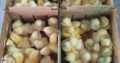 Ross 308 A-Grade Broiler chickens suppliers