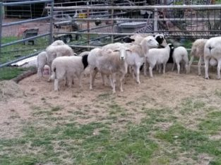 Sheep For Sale Whatsapp +27734531381