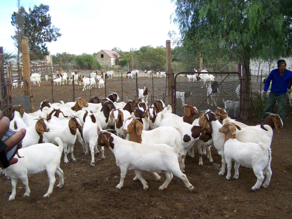 Best Price Healthy Boer Goat Myads Africa