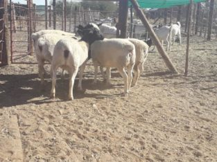Available lambs for sale