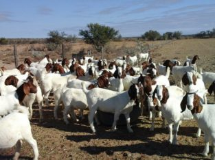 Buy cheap and healthy Boer goats online