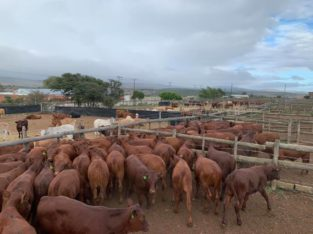 Cattle And Calves – Call/Whatsapp +27810876009
